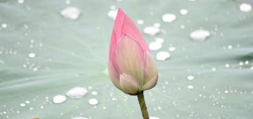 lotus-214622_1280
