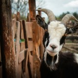 goat-328519_1280