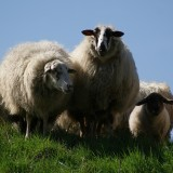 sheep-384674_1280