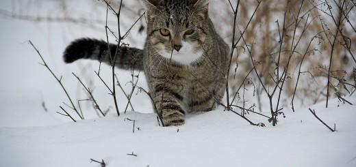 Intinderea pisicii